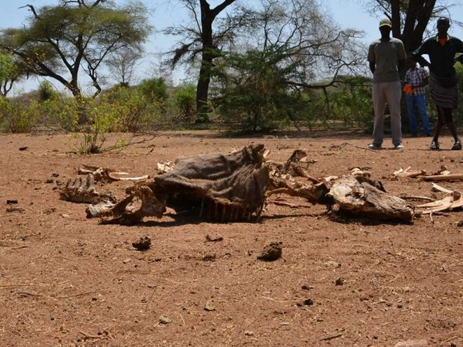 The carcass of a camel in Fafi sub-county in Garissa County.